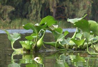 jacinto-de-agua